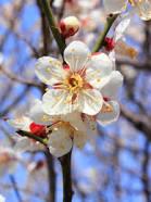 梅の花 港北区のシンボル
