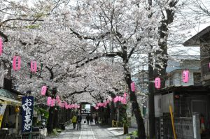 南区大岡川の桜