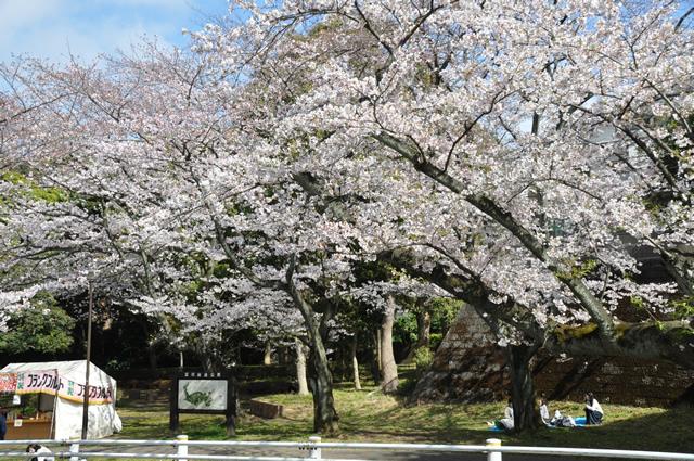 金沢区野島公園の桜
