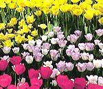 神奈川区の花・チューリツプ